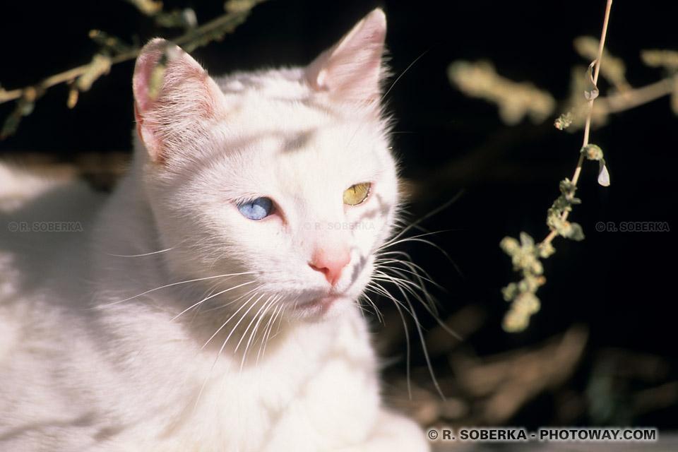chats aux yeux verrons