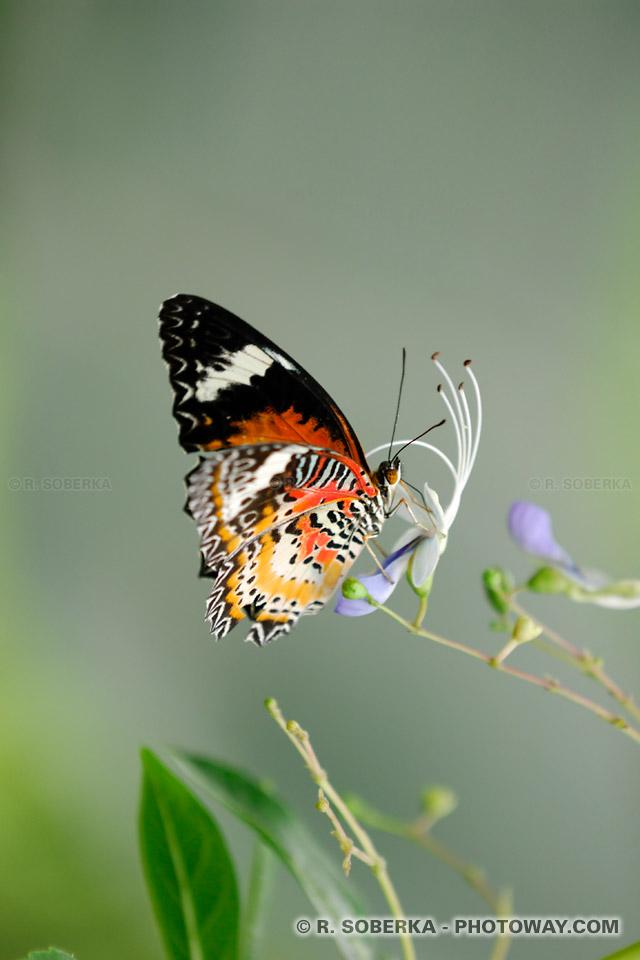Photos de papillons, photo d'un papillon d'Asie
