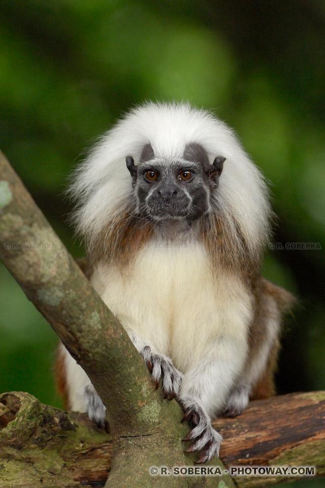 Image d'un Tamarin, photos de singes photo d'un Pinché crête blanche