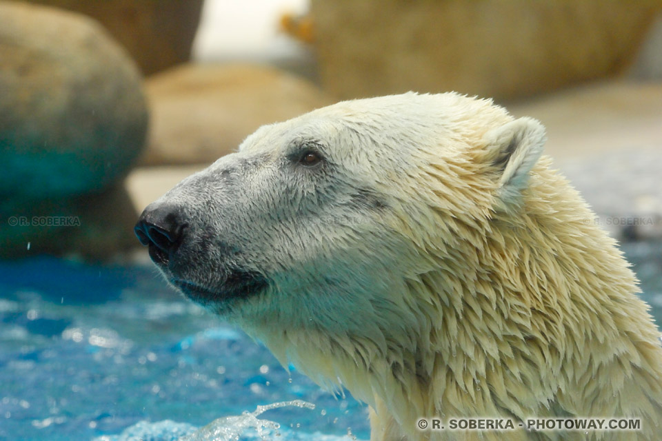 Image d'ours blanc photos ours polaires