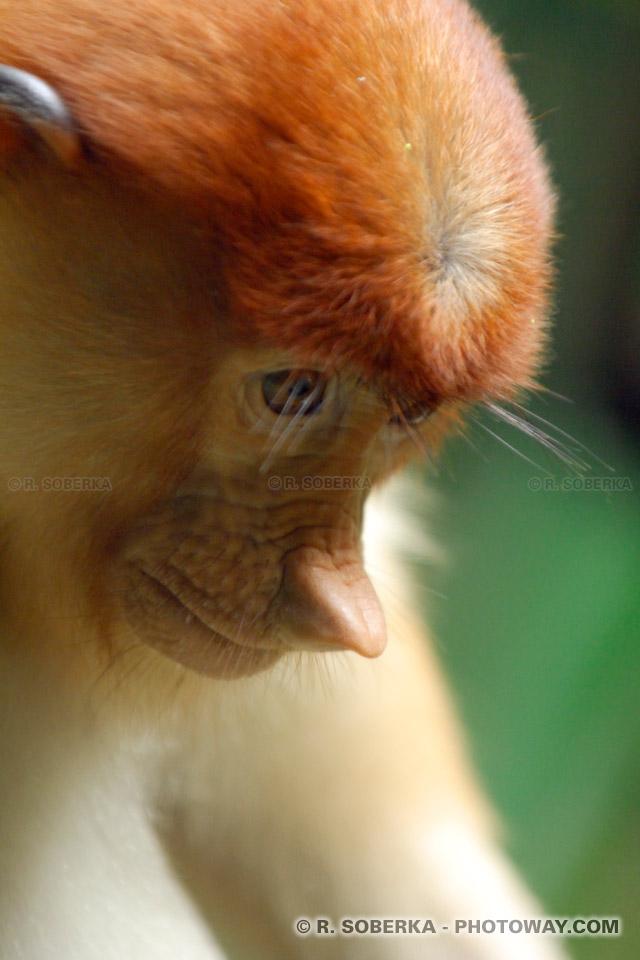 Photo d'un singe Proboscis de Bornéo singes au long nez