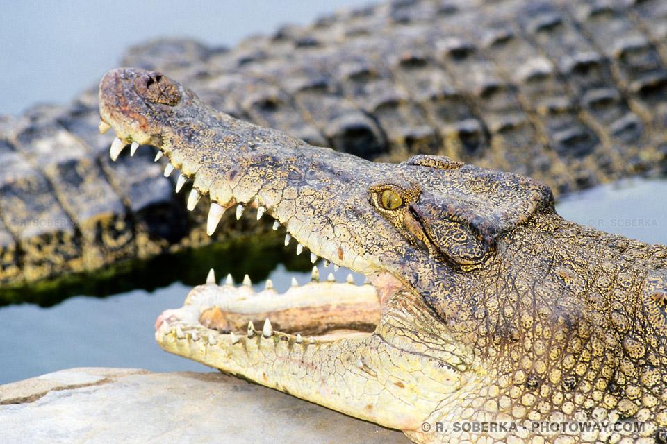 Images de photos Crocodiles photo Crocodile ferme d'élevage Thaïlande