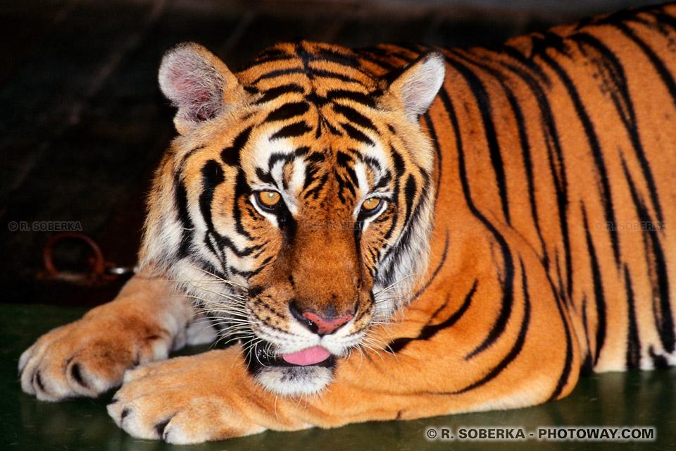 Image d'un tigres du bengale un félin carnivore