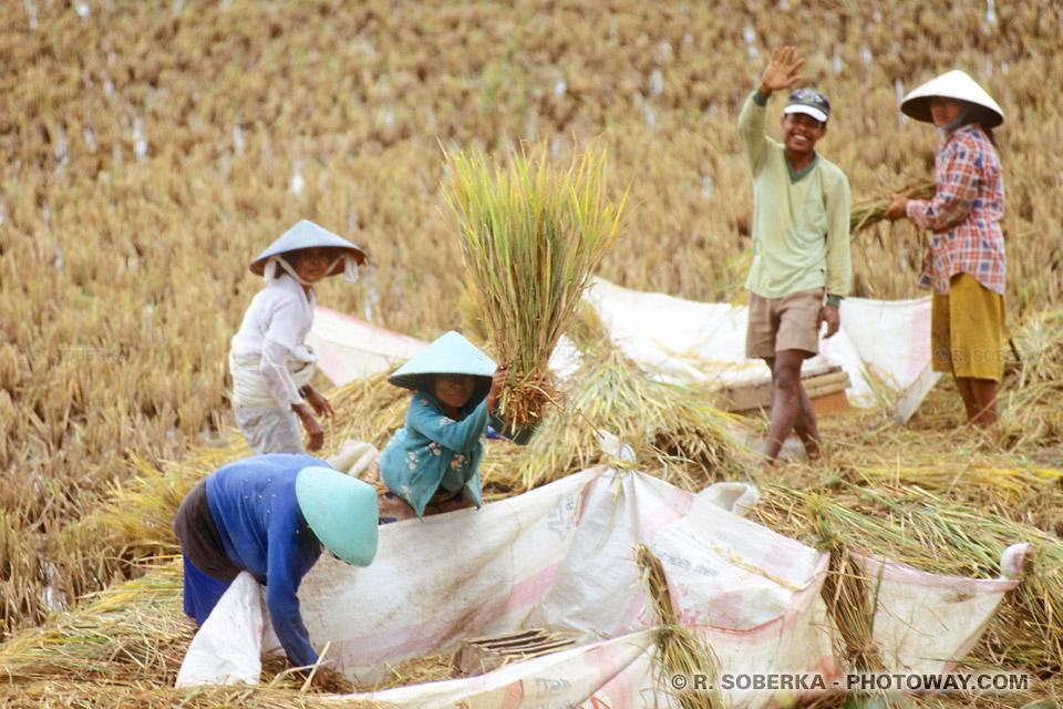 Photos d'asiatiques lors de la récolte du riz en indonésie