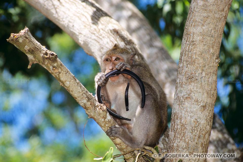 Photo d'un serre-tête, un diadème volé par un singe à Bali