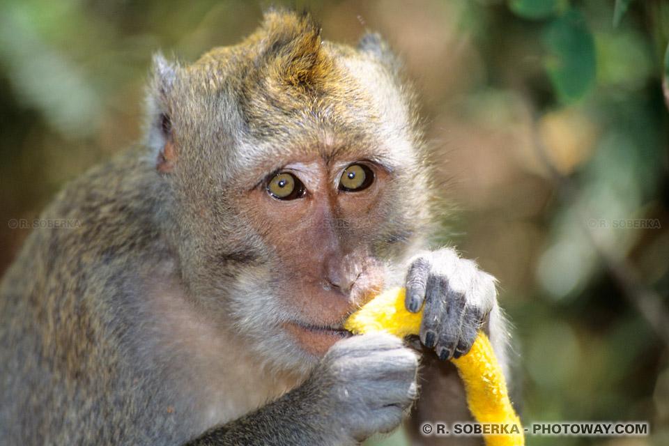 Photo du regard d'un macaque à Bali