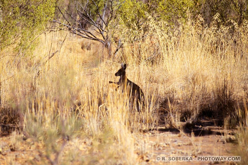 Photos des kangourous, les habitants du désert australien
