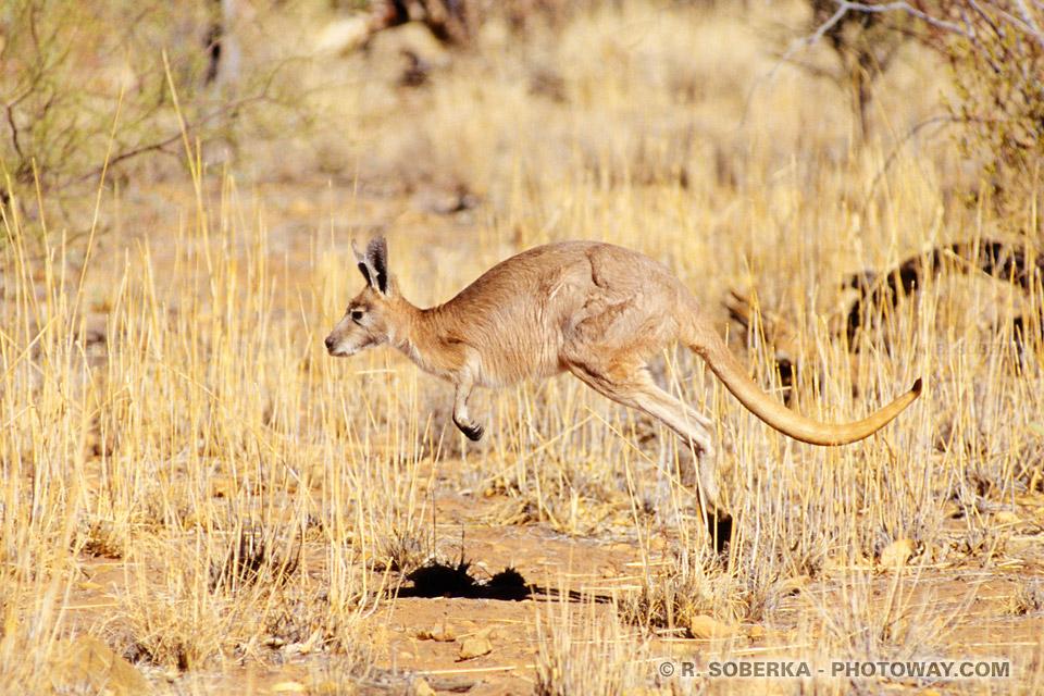 Image d'un kangourou rouge en Australie