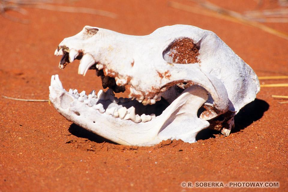 Photos de tête de mort -photo d'un chien sauvage mort dans le désert