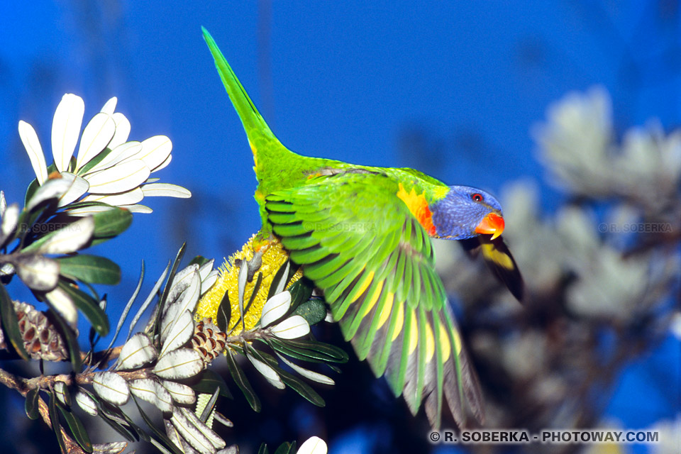 Photos d'oiseaux du paradis tropical australien : photo d'un Lorikeet