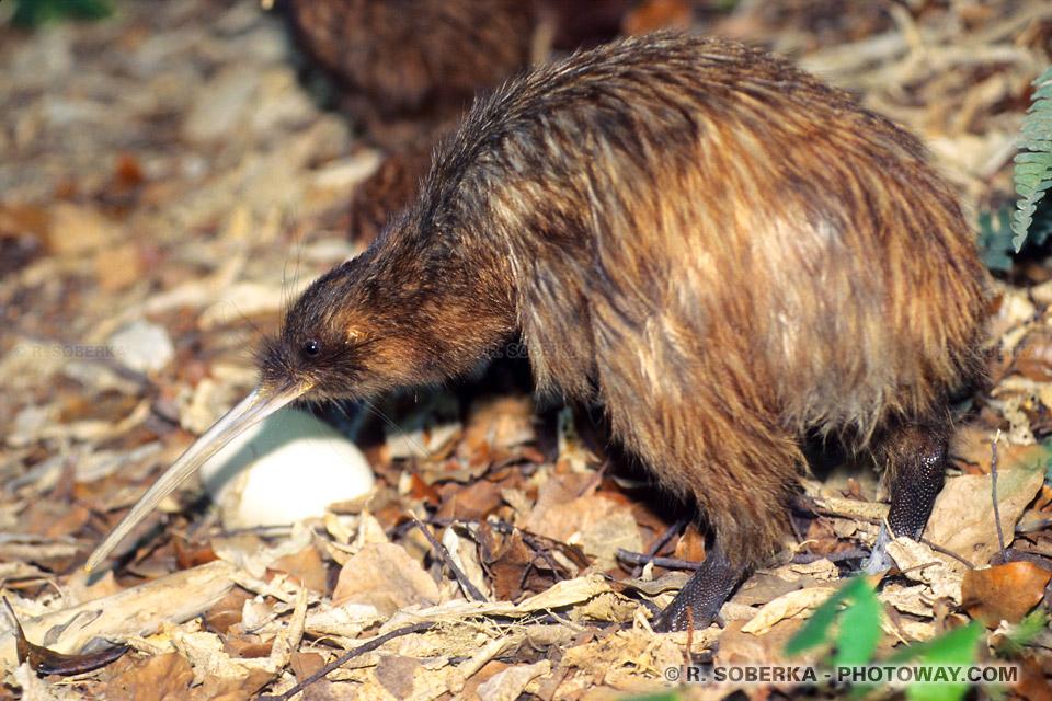 Photo du Kiwi de Nouvelle-Zélande, un oiseau noctambule