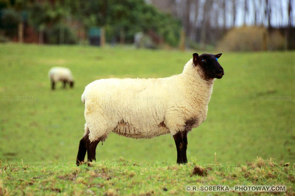 Photos de moutons et Informations sur la Nouvelle-Zélande
