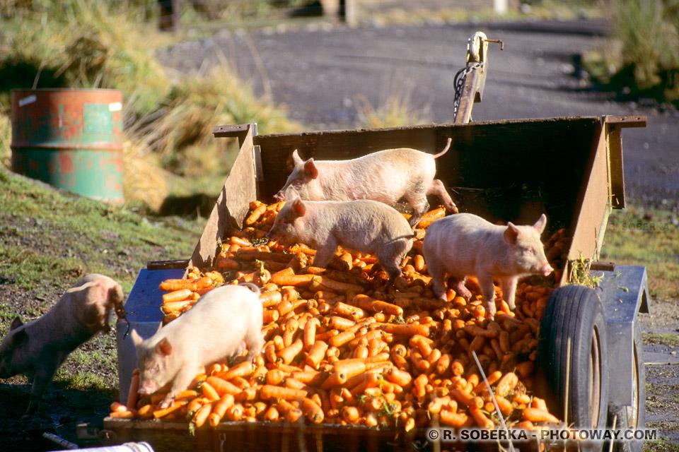 Photos de petits cochons en Nouvelle-Zélande à National Park